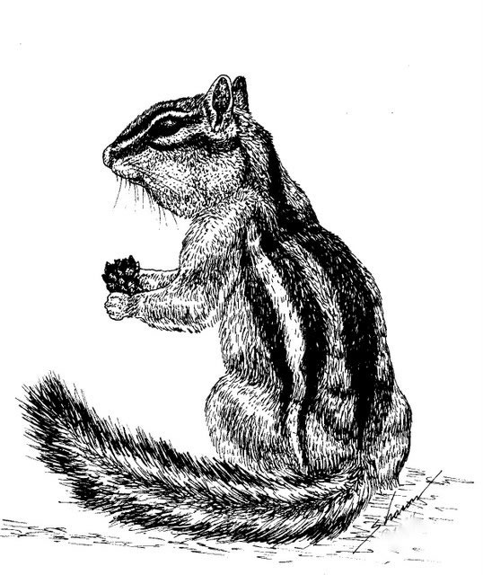 chipmunk eating anut, drawing